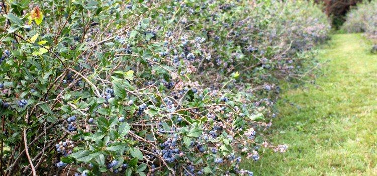 Blueberry Pick-a-thon!
