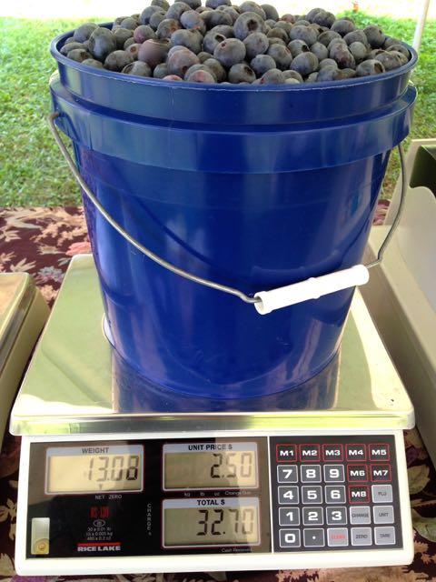 Thirteen pounds of blueberries