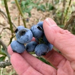 July 7 – Blueberries Phase II – lots more! Open Friday, Saturday, and SUNDAY morning!
