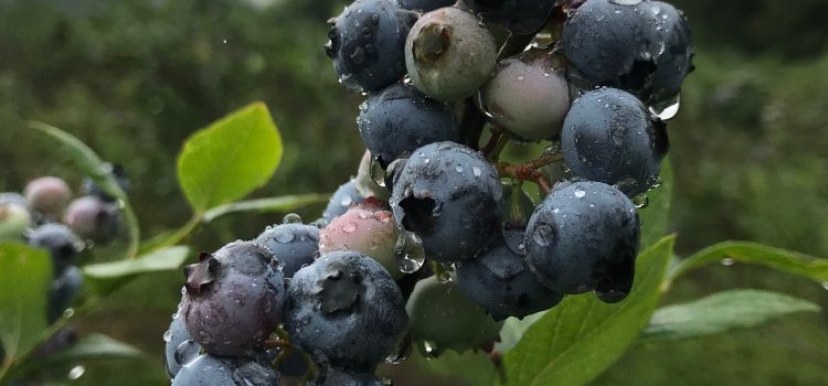 This is terrific berry-picking weather! Come on out!