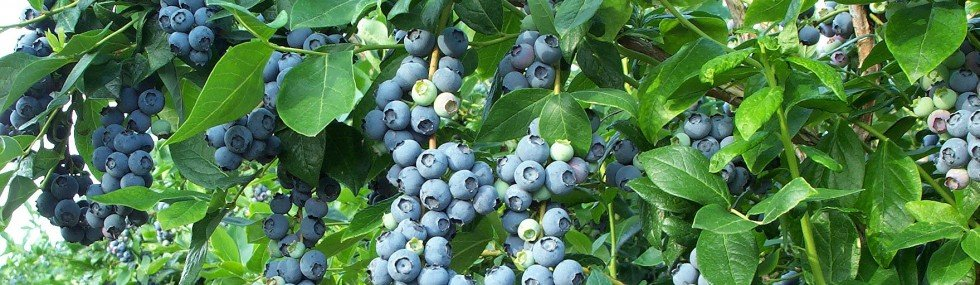 cropped-blueberry_bush