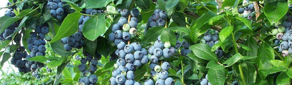 cropped-blueberry_bush