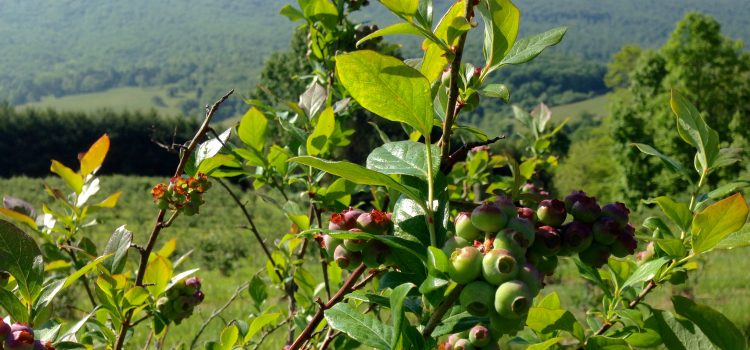 Blueberries 2016: Spring Update!